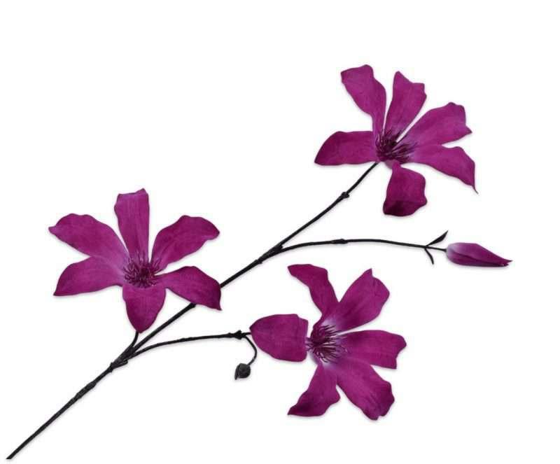 Clematis fluweel paars